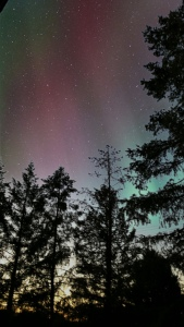 Tops of Evergreen trees, night sky, colors, stars