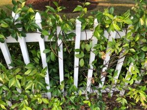 Honeysuckle growing on a white picket fence