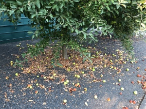 Apples on ground, fallen fruit