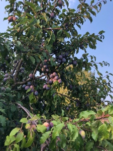 Plum tree full of ripe purple plums