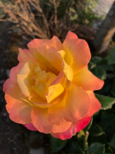 Rose bloom in colors of peach, yellow and pink
