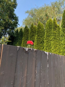 Rose blooming tall high above a fence