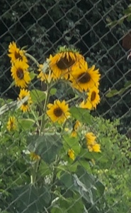 Sunflowers drooping on a gloomy day
