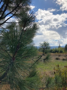 Pine tree view of the prairie, Oregon, nature