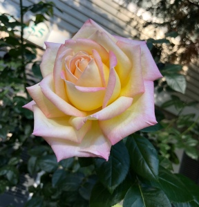 Rose in bloom, yellow with pink tinged petals, blooming in Fall