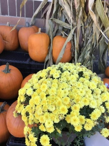 Pumpkins, Yellow Mums, Corn Stalks