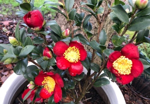 Red Camellia in bloom