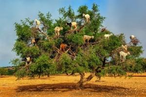 Trees Goats