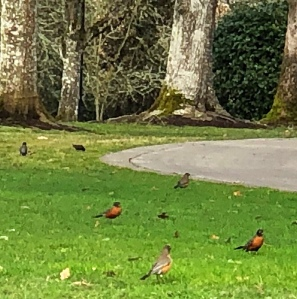 Lawn filled with Robins