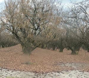 Nut tree orchard in winter