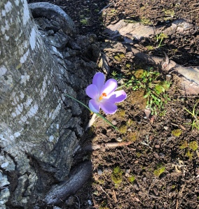 Purple Crocus in bloom planted next to a tree