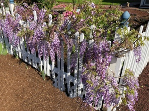 Purple Wisteria on a white picket fence