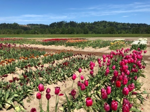 Field of blooming tulips at Tulip Farm in Woodland,WA 2018