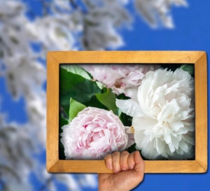 Popular, White flowering Cottonwood trees in background and pink and white peony blooms in a frame forefront