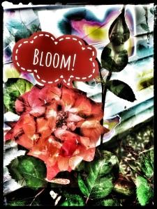 Bloom, rose in bloom