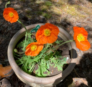 Orange Poppy plant in bloom