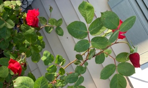 Rose bush covered with blooms