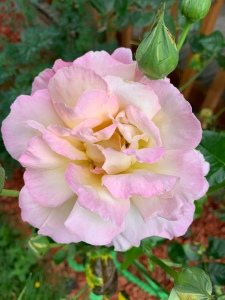 Peace Rose in bloom, white with pink tinged edges