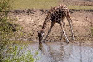 Giraffe drinking water at a water hole