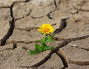 Dandelion growing in cracked dry ground