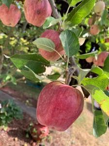 Apple tree bearing fruit