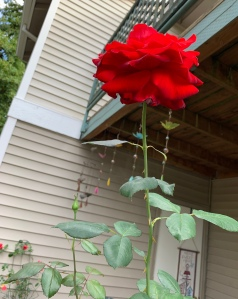 Red rose growing tall and blooming