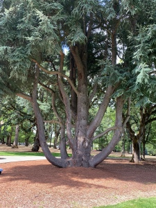Giant tree at Linfield campus