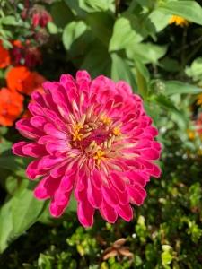 Pink summer flower in bloom