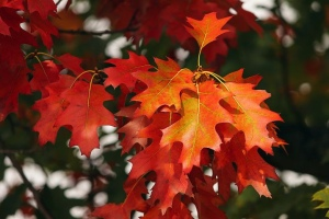 Fall leaves, red oak leaves