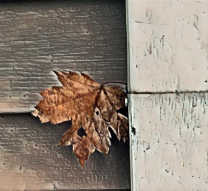Last leaf of Fall holding on to a rain gutter in the winter