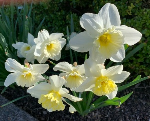 White Daffodils in the sunshine