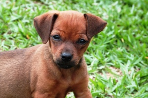 Angry looking cute brown puppy