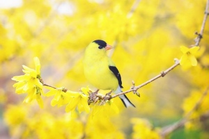 Goldfinches in a golden tree