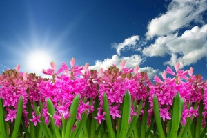Field of blooming hyacinth, sunshine