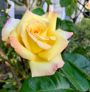Yellow rose with pink tinged petals