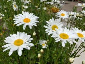 Group of white daises blooming in the sunshine