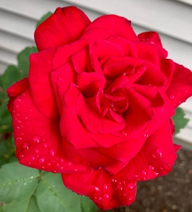 Red rose in bloom with raindrops on petals
